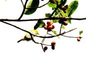 Burung Pleci atau Kacamata limau - Zosterops citrinella - sebelumnya citrinellus