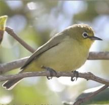 Burung Pleci atau Kacamata Papua, Zosterops novaeguineae