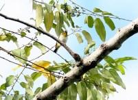 Burung pleci atau Opior dwiwarna - kacamata Seram- Zosterops stalkeri – terkadang dimasukkan ke dalam genus Tephrozosterops