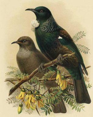burung tui anak dan dewasa