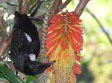 Burung tui menghisap madu