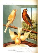 Wallpaper, gambar, foto, lukisan burung kenari (picture, painting and photo canary) (9)