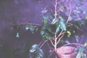 Sarang yang dicantelkan di pohon dalam kandang