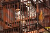 Burung Cucakrowo