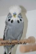 Gambar Burung Parkit 20