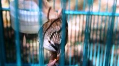Burung ciblek gunung Imoet CPT-11