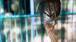 Burung ciblek gunung Imoet CPT-13