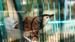 Burung ciblek gunung Imoet CPT-4