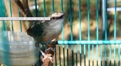 Burung ciblek gunung Imoet CPT-6