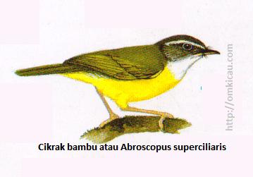 Cikrak bambu atau Abroscopus superciliaris - Alis putih, tenggorokan putih, tubuh bawah kuning