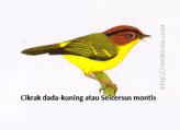 Cikrak dada-kuning atau Seicersus montis - Kepala merah bata, alis hitam, tubuh bawah kuning, tunggir kuning