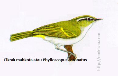 Cikrak mahkota atau Phylloscopus coronatus - Berwarna Iebih hijau terang daripada Cikrak kutub, dengan setrip mahkora kekuningan, hanya satu garis sayap kekuningan, tetapi kadang-kadang dua
