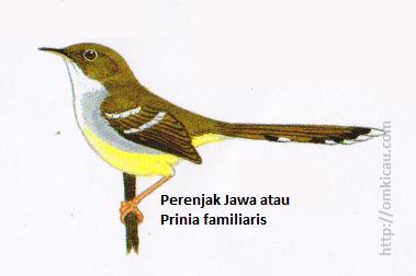 Perenjak Jawa atau Prinia familiaris - Bagian atas zaitun, perut kuning dan dua garis sayap putih.
