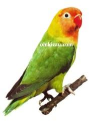 36 agapornis lilianae lovebird-nyasa lovebird-lovebird nyasa