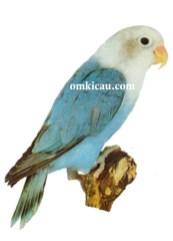 37 agapornis lilianae lovebird-blue-biru