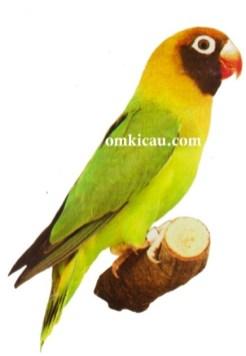 39 agapornis nigrigenis lovebird-black-cheeked lovebird-lovebird leher hitam