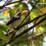 Burung cabean atau cabai jawa - dicaeum trochileum - betina foto Adhy Maruly