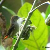 Burung cabean atau cabai jawa - dicaeum trochileum - betina foto Imam T