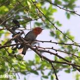 Burung cabean atau cabai jawa - dicaeum trochileum - jantan foto Baskoro