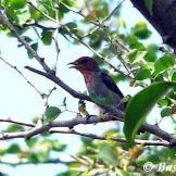 Burung cabean atau cabai jawa - dicaeum trochileum - jantan remaja foto Baskoro