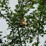 Burung cabean atau cabai jawa - dicaeum trochileum - sarang foto Baskoro
