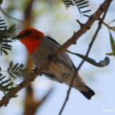 Burung cabean atau dicaeum trochileum foto Swiss Winasis