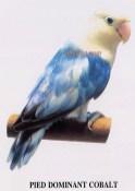 burung lovebird pied dominant cobalt