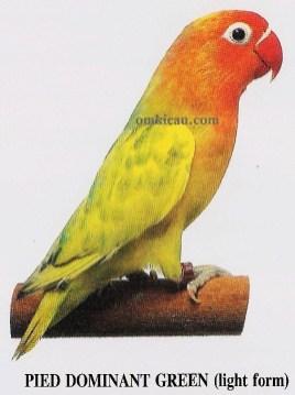 burung lovebird pied dominant green - light form