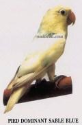 burung lovebird pied dominant sable blue