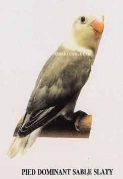 burung lovebird pied dominant sable slaty