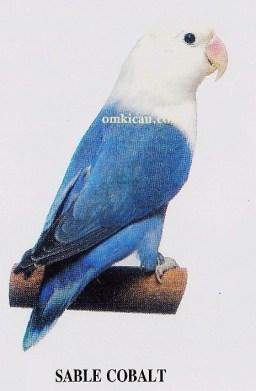 burung lovebird sable cobalt