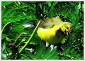Burung sogok ontong alias burung madu sriganti (2)