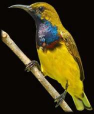 Burung sogok ontong alias burung madu sriganti (7)