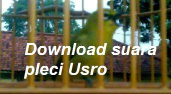 Download suara burung pleci Usro