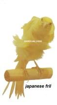 Burung kenari japanese fril