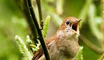 suara burung singende nachtigall