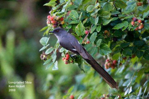 burung murai besi - murai air - air mancur - Long tailed Sibia - Heterophasia picaoides (1)