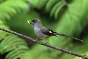 burung murai besi - murai air - air mancur - Long tailed Sibia - Heterophasia picaoides (15)