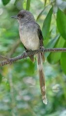 burung murai besi - murai air - air mancur - Long tailed Sibia - Heterophasia picaoides (2)