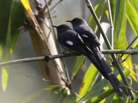 burung murai besi - murai air - air mancur - Long tailed Sibia - Heterophasia picaoides (6)