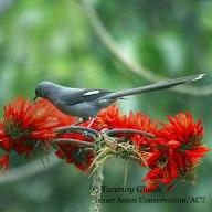 burung murai besi - murai air - air mancur - Long tailed Sibia - Heterophasia picaoides (8)