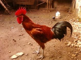 Ayam pelung4