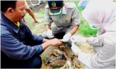 Petugas memeriksa itik yang mati mendadak di Desa Pakijangan, Brebes.