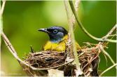 Pycnonotus atriceps atau cucak kuricang atau burung cep-cep 5