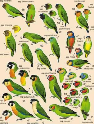 beberapa spesis dari pygmy parrot