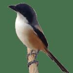 Burung cendet / pentet
