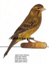 kenari agate yellow intensive