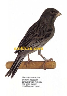 kenari black white resessive