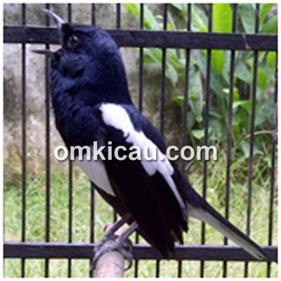 Senpi: Stabil di tangkringan, kepala selalu menghadap langit, dan buka paruh lebar-lebar.