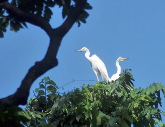 Sepasang burung kuntul (Egretta intermedia) bertengger di atas pohon. (Foto: Antara/Zabur Karuru)